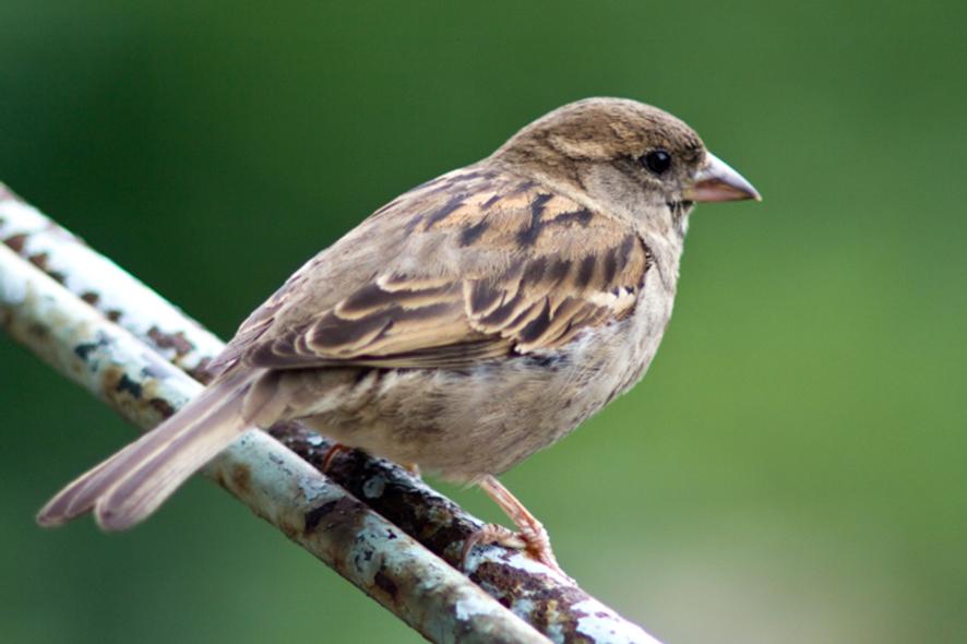 Un passereau domestique, l'un des représentants des oiseaux modernes dépourvus de dents Crédit image : A. Romarov.